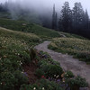 Trail, Wildflowers, and Fog, Mt. Rainier NP, Washington