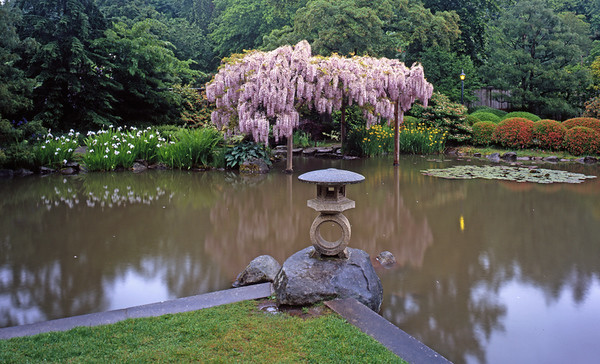 Wisteria Tree, Refelcting Pond, and Japanese Lanter
