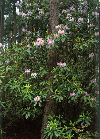 Rhododendrons and Fir Trees