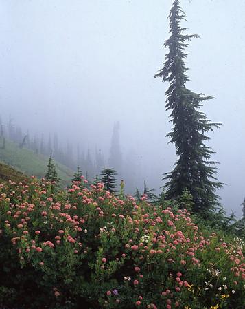 Pink Flowers, Tree, and Fog, Mt. Rainier NP, Washington