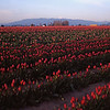 Red Tulips Skagit Valley, Washington