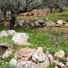 Olive Trees, Red Poppy, Rocks, The Galillee, Israel