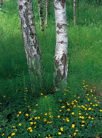 Yellow Flowers, Birch Trees, Green Grass