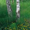 Yellow Flowers, Birch Trees, Green Grass