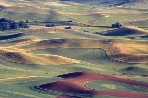 Spring Wheat and Red Barn, Palouse, Washington