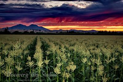 Sunset Mt DiabloCornfield IMG_5790 F LR