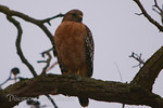 Red-Tailed Hawk near Discovery Bay, CA 94505
