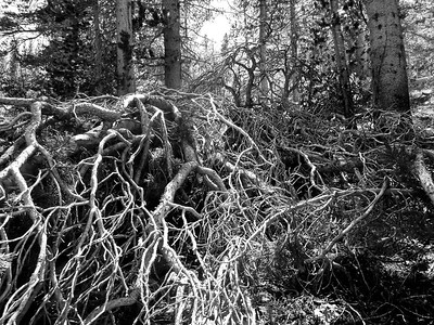 Gnarled Branches - BW