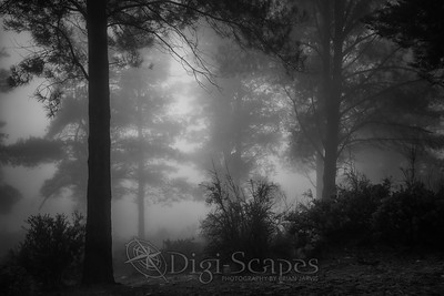 Foggy Woods - BW