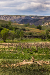 Prairie Dog in the North Dakota Badlands, Theodore Roosevelt National Park