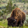 Bison and Bird - Theodore Roosevelt National Park, ND