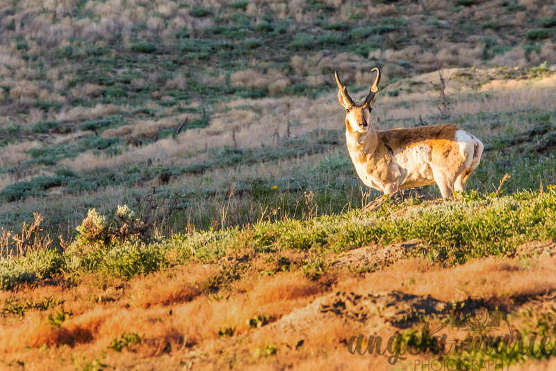 Pronghorn in Theodore Roosevelt National Park