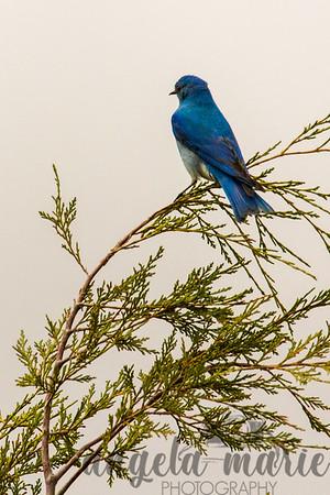 Mountain Bluebird in Theodore Roosevelt National Park, ND