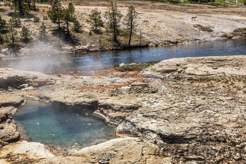 Coyotes and Firehole River - Upper Geyser Basin