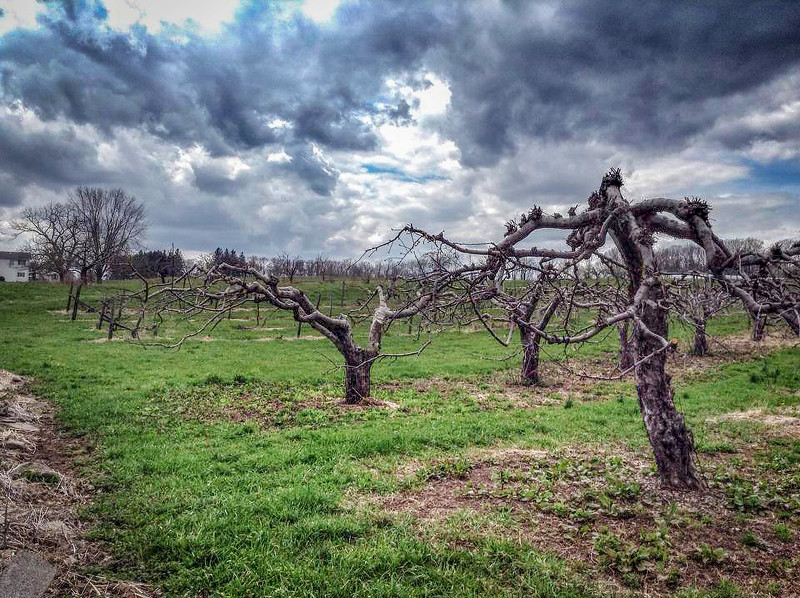 Pruned Fruit Trees
