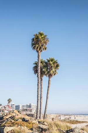 Coronado Island Palms