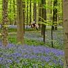 Haller Bos  - (bluebells) Hyacinthoides non-scripta