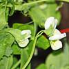 Sweet Pea Blooms