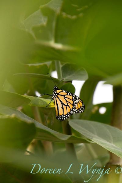 Danaus plexippus butterfly_ 002