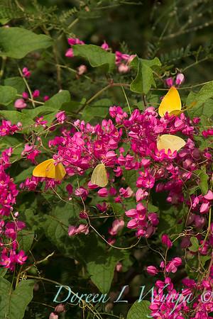 Antigonon leptopus - Phoebis sennae P  agarithe butterflies_0977