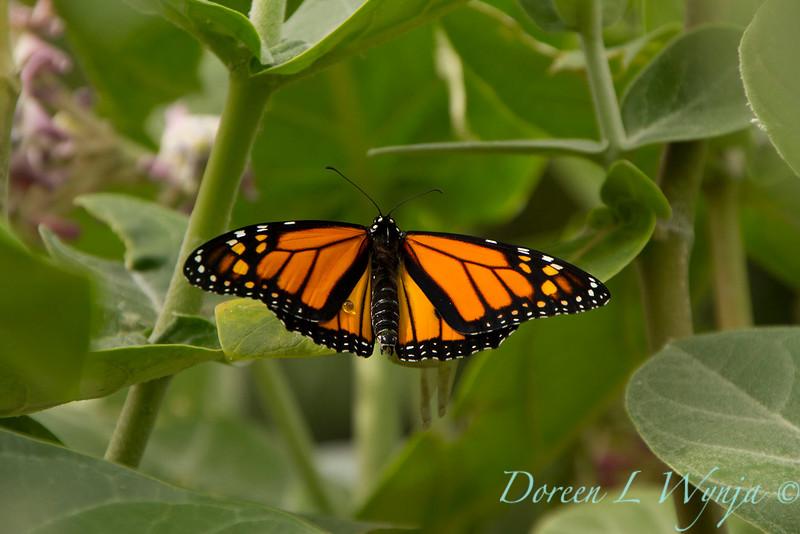 Danaus plexippus butterfly_ 008
