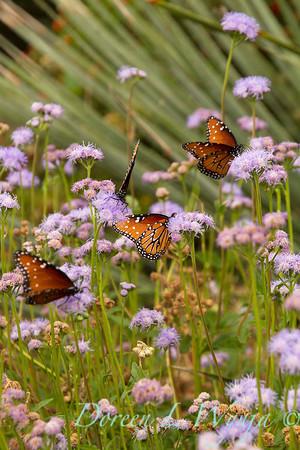 Ageratum; Arizona; Butterfly; Butterfly Mist; corymbosum; Flattop Ageratum; Monarch butterfly; Southwestern; Tohono Chul Park; Tucson