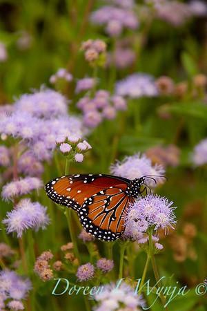 Ageratum corymbosum - Danaus gilippus Queen butterfly_914