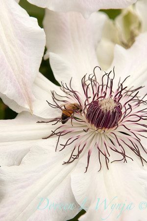 Honey Bee on White Clematis_016