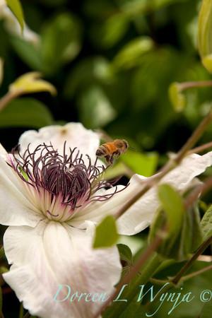 Honey Bee White Clematis_016