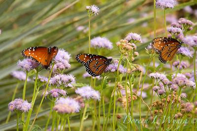 Ageratum corymbosum - Danaus gilippus Queen butterfly_916