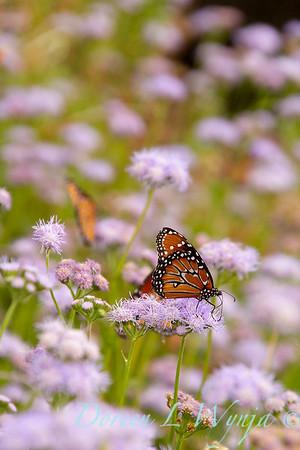 Ageratum corymbosum - Danaus gilippus Queen butterfly_919