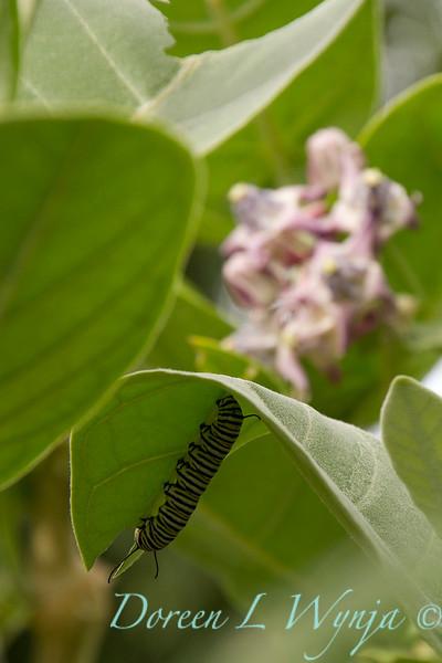 Danaus plexippus larva_ 003