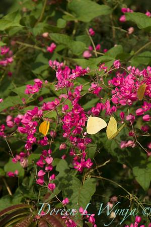 Antigonon leptopus - Phoebis sennae P  agarithe butterflies_0974