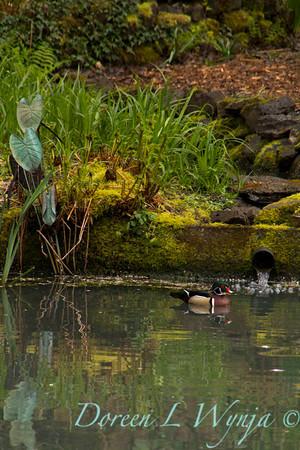 Aix sponsa Wood Duck male_0004