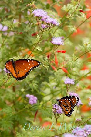 Ageratum; Arizona; Butterfly; California Fuchsia; californica; corymbosum; Epilobium cana; Epilobium canum; Monarch butterfly; Southwestern; Tohono Chul Park; Tucson; Zauschneria