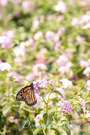 5723 Lantana sellowiana 'Monswee' Lavender Swirl - Monarch butterfly_2017