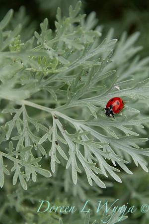Artemisia Powis Castle lady bug_033