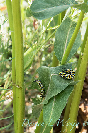 Asclepias speciosa with monarch caterpillar_4615
