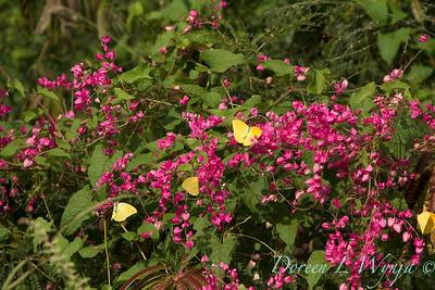 Antigonon leptopus - Phoebis sennae P  agarithe butterflies_0970