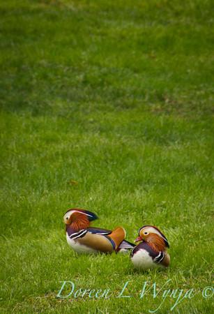 Aix galericulata Mandarin Duck male_0013