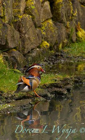 Aix galericulata Mandarin Duck male_0003