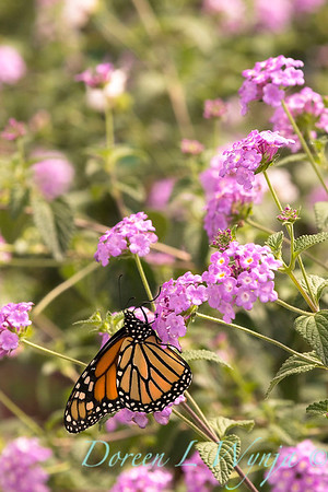 5723 Lantana sellowiana 'Monswee' Lavender Swirl - Monarch butterfly_2022