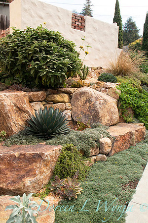 Agave 'Blue Glow' - Dymondia ground cover - rock garden_7636