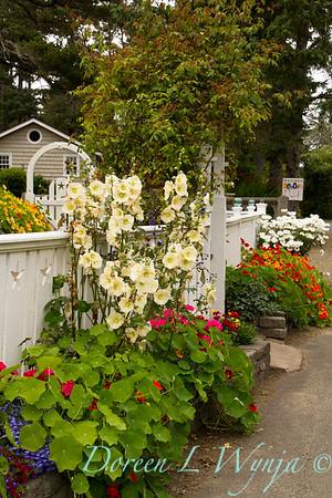 Fencing white Tropaeolum majus Alcea spp  cottage garden_3650