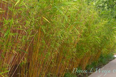Bambusa multiplex 'Golden Goddess' - Kniphofia border_6483