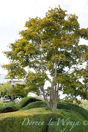 Acer shirasawanum 'Autumn Moon' - boxwood juniper blended hedge_7535