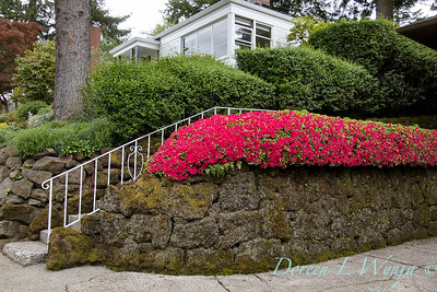 Azalea hedge - rock wall_5541