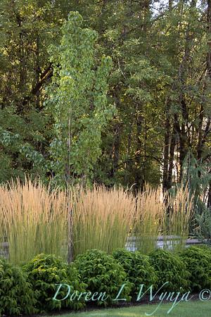 Calamagrostis x acutiflora 'Karl Foerster' landscape_5381M