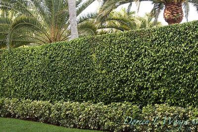 Ficus benjamina - Heptapleurum arboricola double hedge_0042