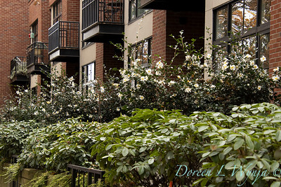 Camellia sasanqua 'Setsugekka' urban condo complex_3684